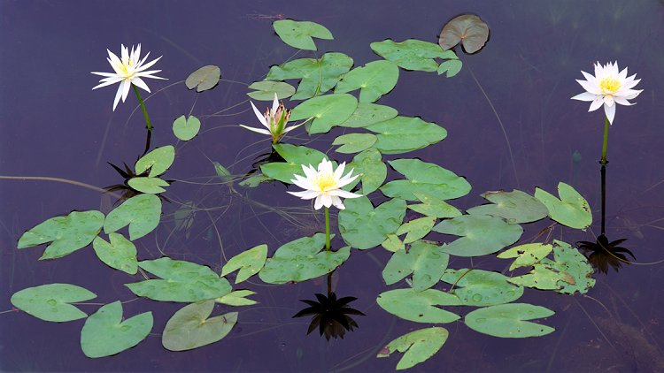Lily Reflections