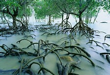 Spider Mangroves