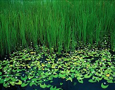 Emerald Waterlilies